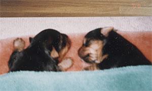 momokuri_puppy
