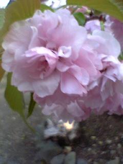平野神社の八重桜